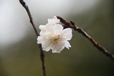 平野神社の桜 2