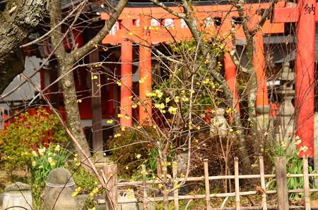 素心蝋梅、水仙咲く平野神社