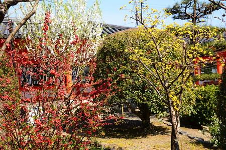 花桃、山茱萸、木瓜咲く三十三間堂