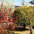 写真: 花桃、山茱萸、木瓜咲く三十三間堂