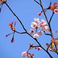 写真: 蜂須賀桜(ハチスカザクラ)