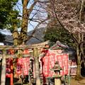 写真: 稲荷脇の染井吉野