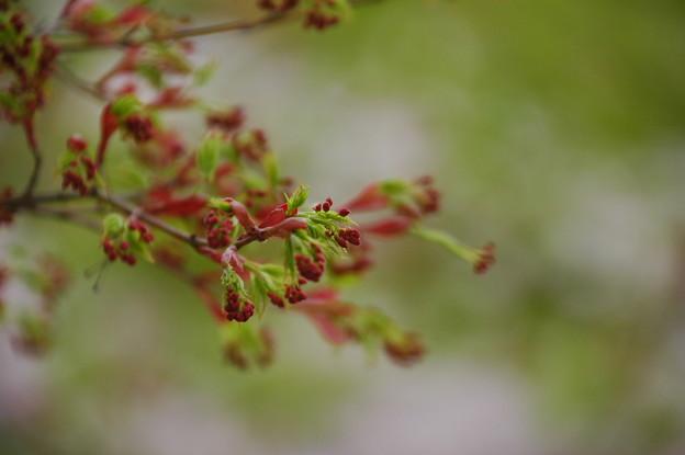 写真: もみじの花も咲いて~