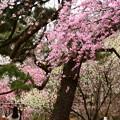 写真: 児童公園脇の紅枝垂れ(ベニシダレ)
