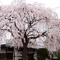 写真: 本満寺の枝垂れ桜