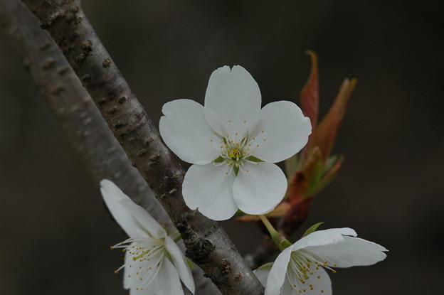 写真: 不断桜(フダンザクラ)