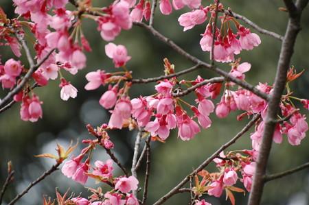 ヒマラヤ緋桜(ヒマラヤヒザクラ)