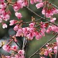 写真: ヒマラヤ緋桜(ヒマラヤヒザクラ)