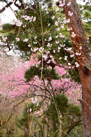 花桃の前の枝垂れ桜