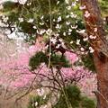 写真: 花桃の前の枝垂れ桜