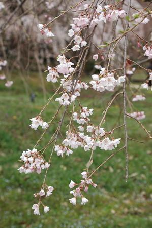 三春滝桜の子孫
