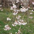 写真: 三春滝桜の子孫