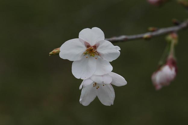 写真: 長谷房桜(ハセフサザクラ)