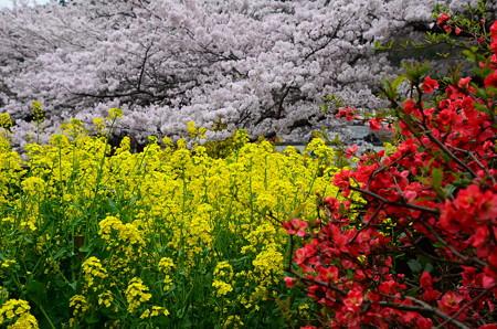 山科疏水の桜風景