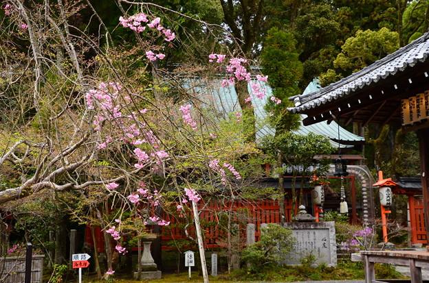 写真: 赤山禅院の八重紅枝垂れ
