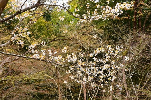 写真: 十牛の庭の山桜(ヤマザクラ)