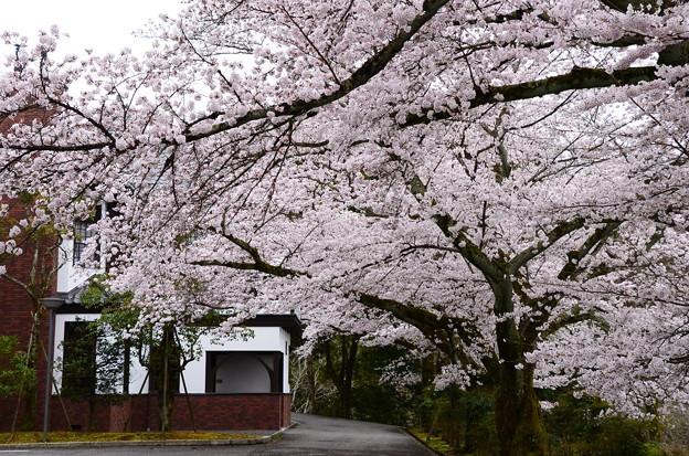 写真: 満開の染井吉野