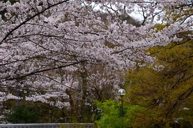 写真: 曼殊院入り口脇の染井吉野