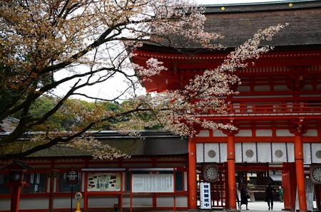 楼門前の山桜