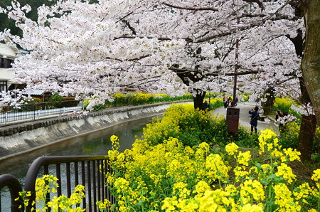 染井吉野と菜の花の山科疏水