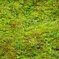 写真: 曼殊院でも猩々袴が咲いていました~