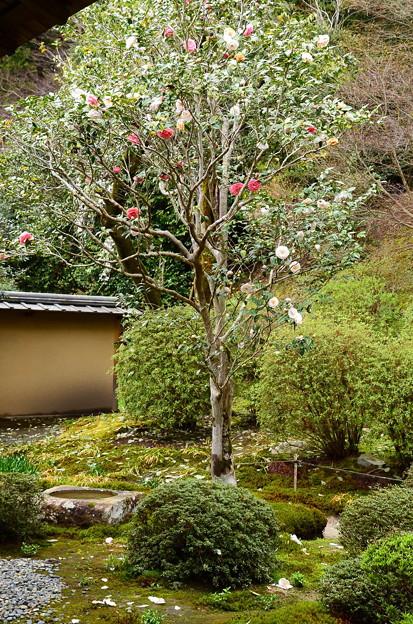 写真: お庭の椿