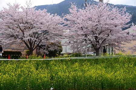 菜の花と染井吉野