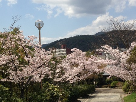 染井吉野満開の船岡山