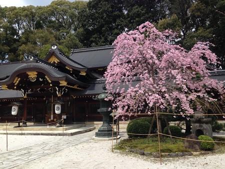 今宮神社の八重紅枝垂れ