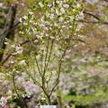 写真: 富士菊桜(フジキクザクラ)