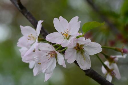 紅鶴桜(ベニヅルザクラ)