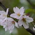 写真: 紅鶴桜(ベニヅルザクラ)