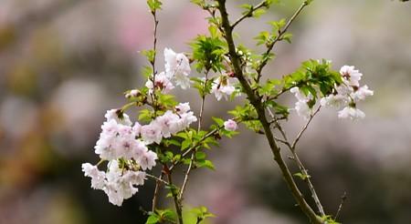富士菊桜(フジキクザクラ)