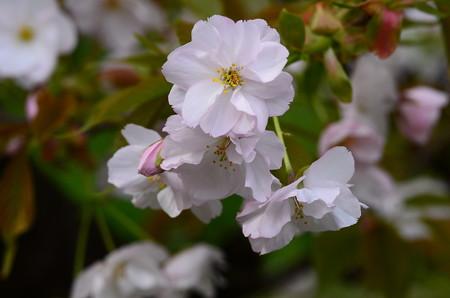 祇王寺祇女桜(ギオウジギジョザクラ)