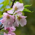 写真: 奥州里桜(オウシュウサトザクラ)