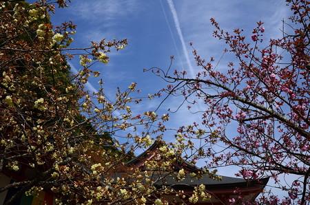 鬱金と関山と飛行機雲と~