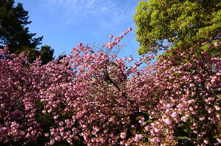 満開の関山(カンザン)