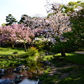 出水の小川の桜風景