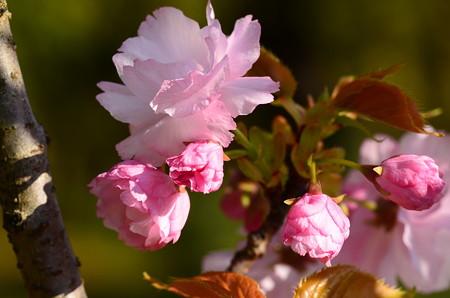 出水広場向かいの桜