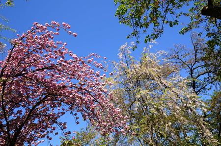 関山とまだ残る八重紅枝垂れ