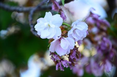 西側の八重桜