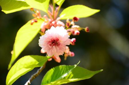 菊咲きの桜 その2