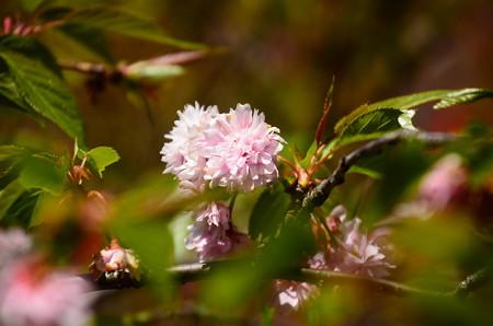 菊咲きの桜 その1