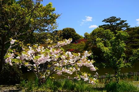 咲耶池脇の八重桜