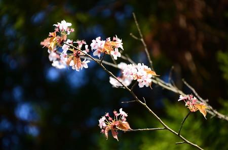 霞桜(カスミザクラ)かな~?