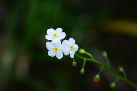 立亀葉草(タチカメバソウ)