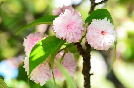 兼六園菊桜(ケンロクエンキクザクラ)?