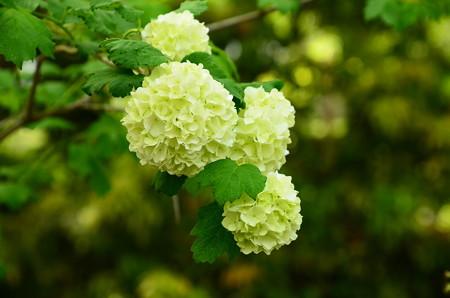 手鞠肝木(テマリカンボク)