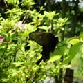 写真: 麝香揚羽(ジャコウアゲハ)