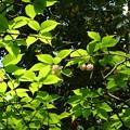 写真: 兼六園菊桜(ケンロクエンキクザクラ)